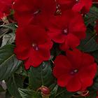 Piros virágú Új-Guineai nebáncsvirág