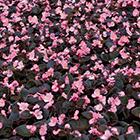 Rózsaszín virágú bordó levelű kerti begónia