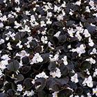 Fehér virágú bordó levelű kerti begónia