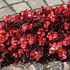 Piros virágú bordó levelű kerti begónia