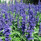 Kék virágú lisztes zsálya