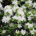 Fehér japán azalea