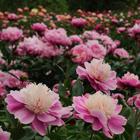 Pünkösdi rózsa, bazsarózsa- UTOLSÓ DARABOK!