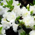 Alacsony hófehér japán azalea