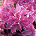 Rózsaszín - fehér japán azalea