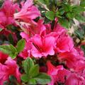 Rózsaszín törpe japán azalea - UTOLSÓ DARABOK!