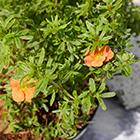 Narancs-piros virágú cserjés pimpó