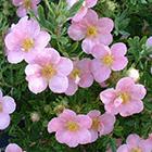 Halványrózsaszín virágú pimpó
