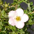 Rózsaszín virágú pimpó