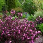 Bordó levelű rózsalonc-fürtöslonc