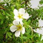 Fehér virágú pimpó