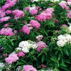 Fehér-rózsaszín gyöngyvessző