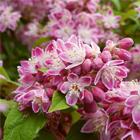 Fehér-rózsaszín gyöngyvirágcserje