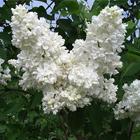 Hófehér, telt virágú orgona