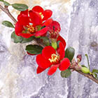Piros virágú japán birs