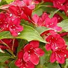 Rubinpiros virágú rózsalonc-fürtöslonc