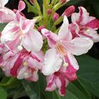 Rózsaszín-bordó virágú rózsalonc-fürtöslonc