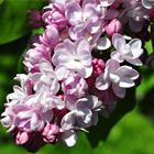 Rózsaszín virágú orgona