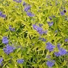 Sárga levelű kékszakáll-illatos szakállvirág