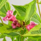 Sárga-tarka levelű rózsalonc-fürtöslonc