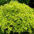Sárga-tarka levelű som