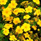 Sárga virágú pimpó