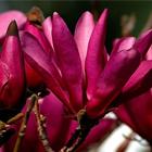Sötét borvörös nagyvirágú magnólia-tulipánfa, liliomfa