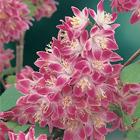 Sötétrózsaszín gyöngyvirágcserje