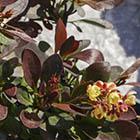 Törpe, bordó levelű japán borbolya