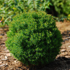 Törpe, zöld gömbtuja