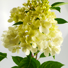 Vanília színű cserjés hortenzia