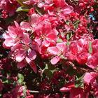 Vörösen fakadó, rózsaszín japán birs